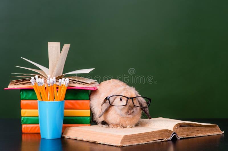 Mądrze królika obsiadanie na książkach blisko blackboard zdjęcia royalty free