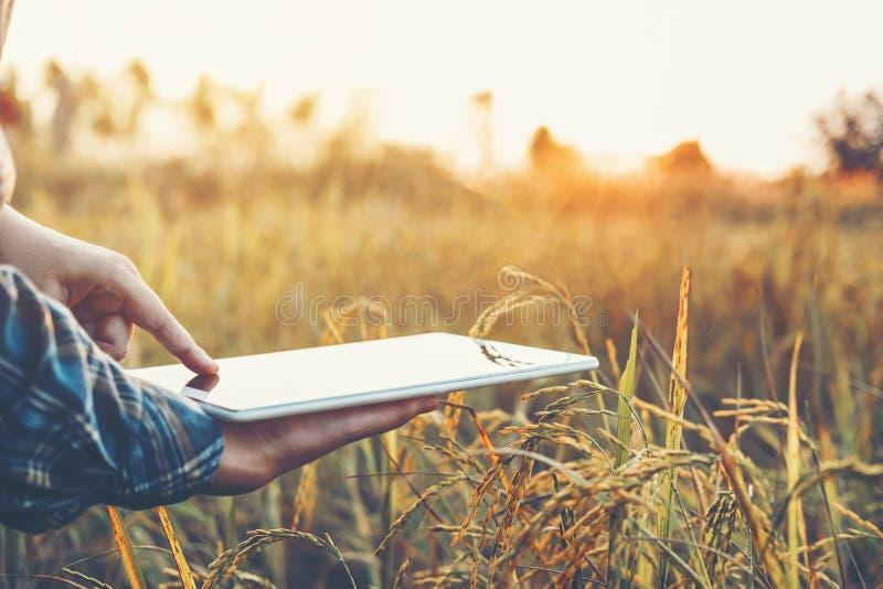 Mądrze uprawia ziemię Rolnicza technologia i organicznie rolnictwo kobieta używa badawczą pastylkę i studiujący rozwój ryż obraz stock