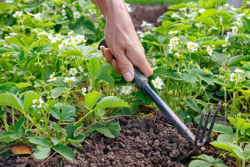 Mężczyzna średniorolna czułość dla truskawki kiełkuje wewnątrz outdoors zdjęcia stock
