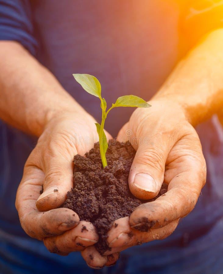 Mężczyzna średniorolne ręki trzyma zielonej młodej rośliny zdjęcia royalty free
