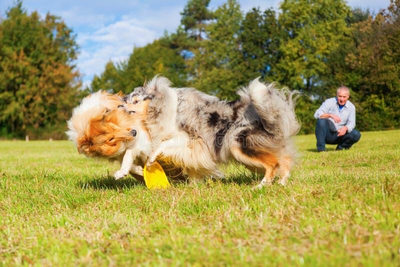 Mężczyzna bawić się frisbee z psami zdjęcia royalty free