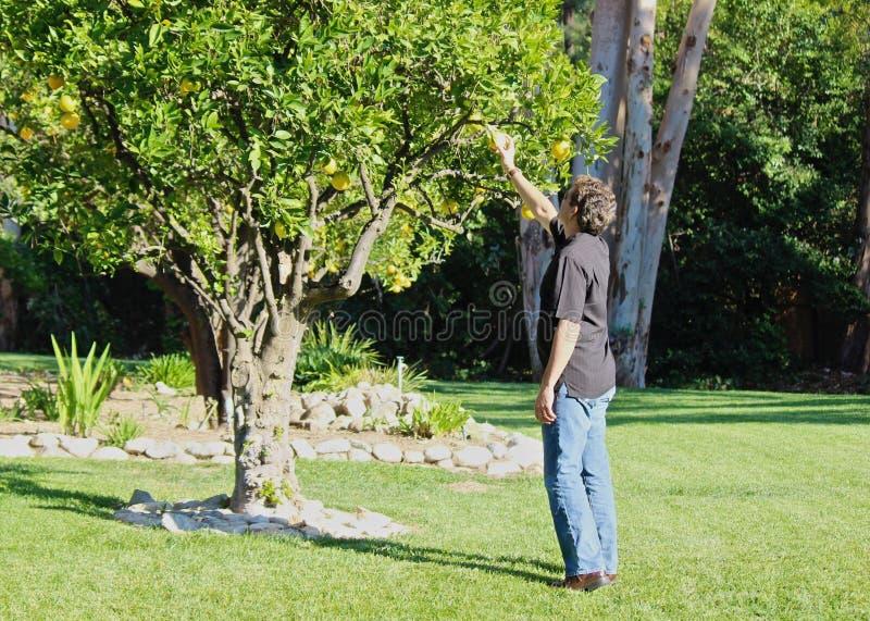 Mężczyzna cytryny drzewo zdjęcia stock