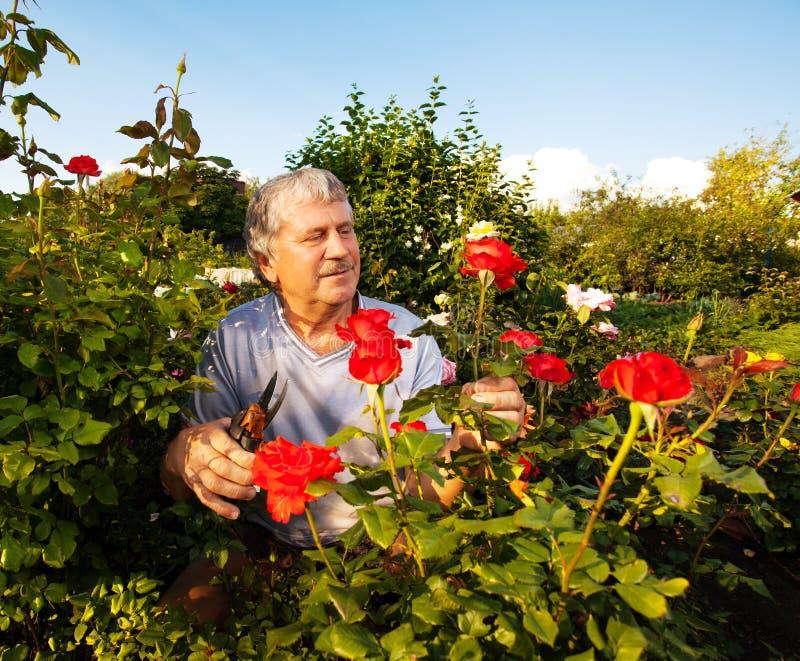 Mężczyzna dba dla róż w ogródzie zdjęcia stock