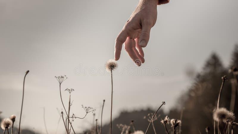 Mężczyzna delikatnie dotyka delikatnego dandelion zegar zdjęcia stock