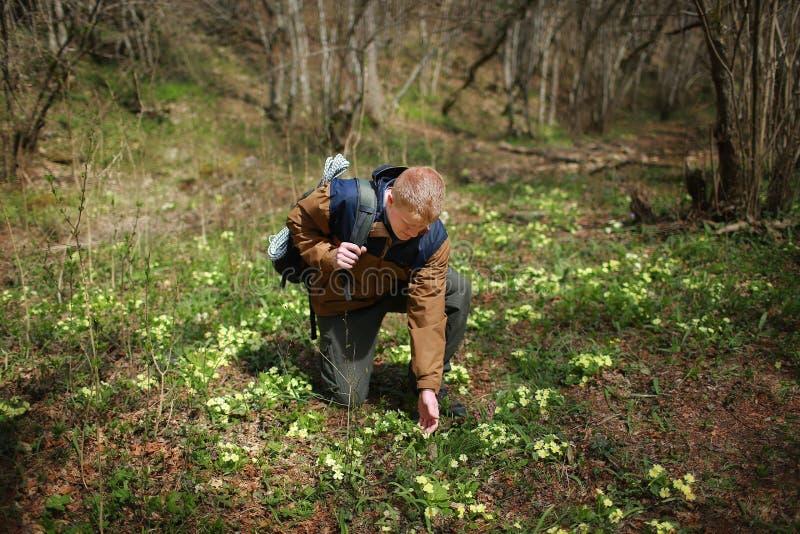 Mężczyzna dotyka pierwiosnkowych kwiaty z jego ręką zdjęcie stock