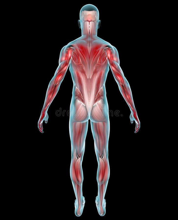 Mężczyzna mięśni anatomia royalty ilustracja