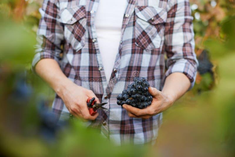 Mężczyzna mienia nożyce i winogrona podczas gdy zbierający zdjęcie royalty free
