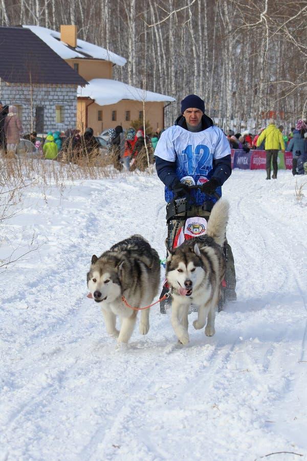 Mężczyzna na Pogodnym zima dniu w saniu jedzie psiego sanie z dwa Alaskim Malamute na wakacje w Novosibirsk obrazy stock