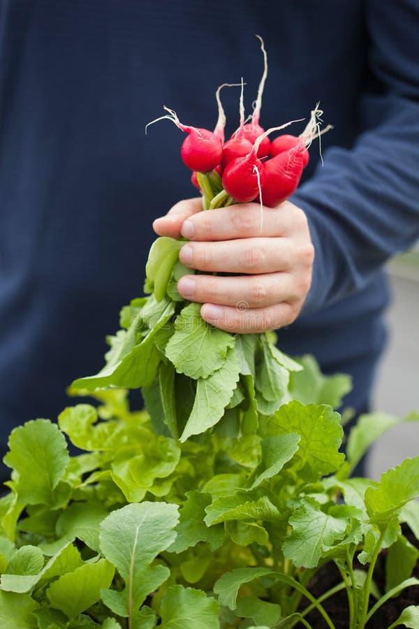Mężczyzna ogrodniczki zrywania rzodkiew od jarzynowego zbiornika ogródu na b obrazy royalty free