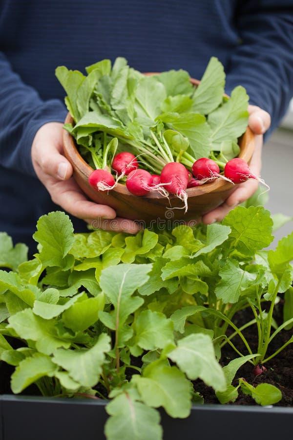 Mężczyzna ogrodniczki zrywania rzodkiew od jarzynowego zbiornika ogródu na b zdjęcie royalty free