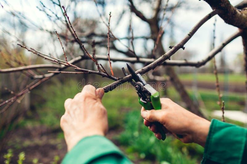 Mężczyzna przycina drzewa z cążkami Męskie średniorolne cięcie gałąź w wiośnie uprawiają ogródek z przycinać strzyżenia lub secat obrazy royalty free