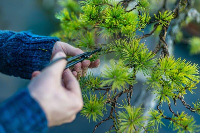 Mężczyzna przycina japońskiego bonsai drzewa fotografia stock