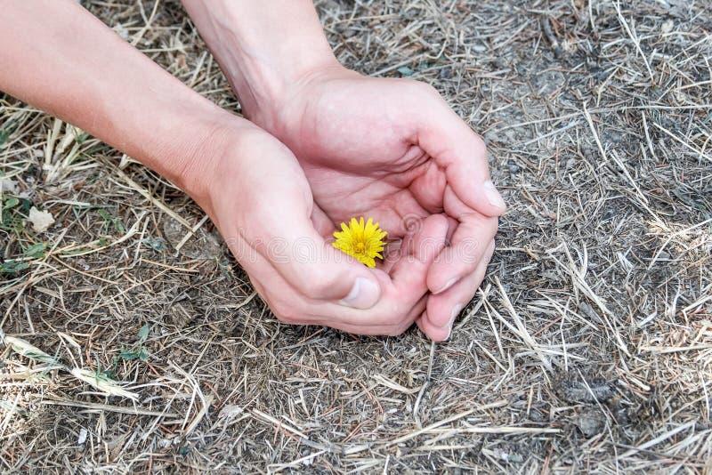 Mężczyzna ręk delikatnie chwyt w ich palmach żółty dandelion który r wśród suchej trawy i wysuszonych świerkowych igieł obrazy royalty free