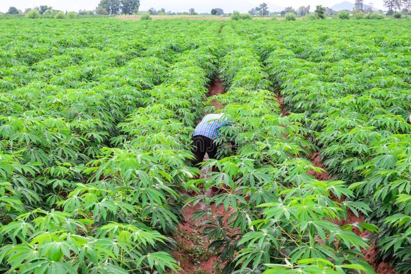 Mężczyzna rolnik w zielonej koszula dba zielone kasaw uprawy zdjęcia stock