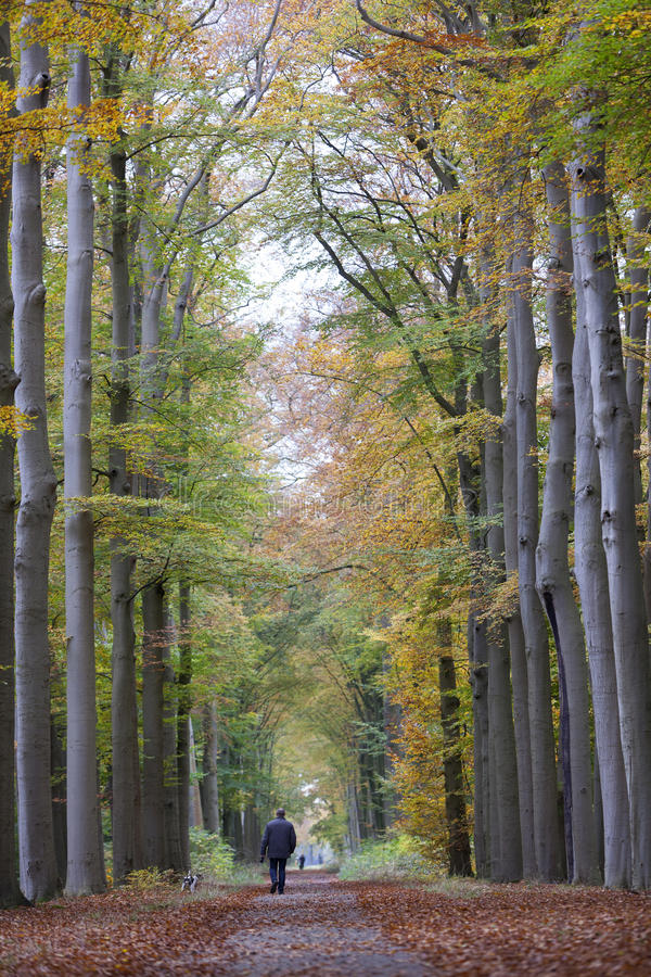 Mężczyzna spacerów pies na lasowej drodze w jesieni między bukowymi drzewami ja zdjęcia stock