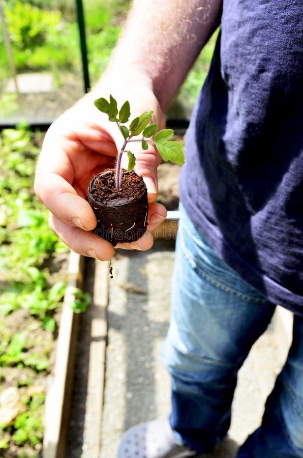 Mężczyzna trzyma dalej organicznie pomidorowej rośliny fotografia royalty free