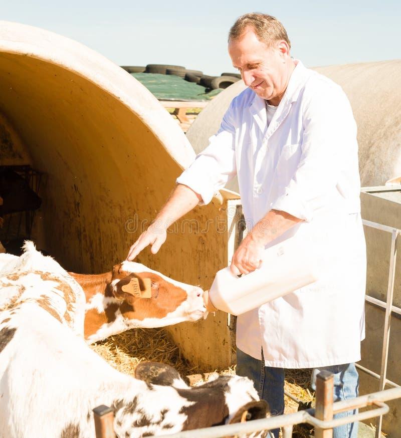 Mężczyzna w białym kontuszu karmi dwa tygodni starej łydki od butelki zdjęcia royalty free