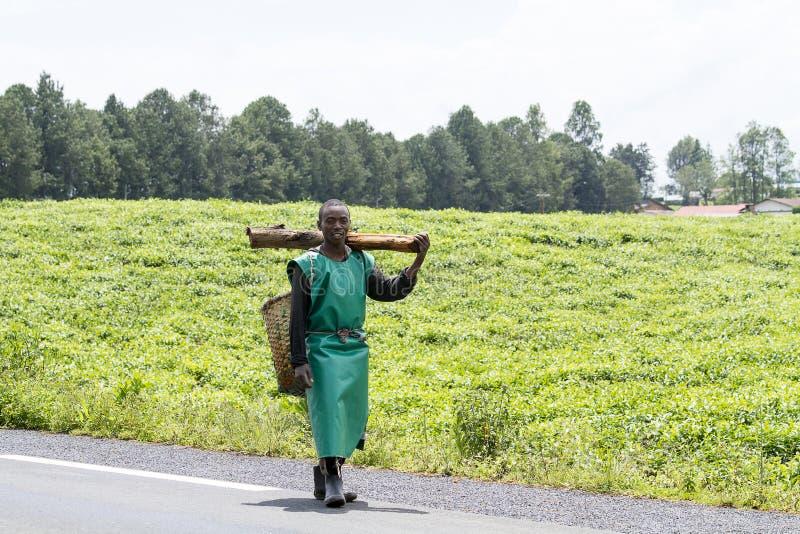 Mężczyzna w herbacianej plantaci fotografia royalty free