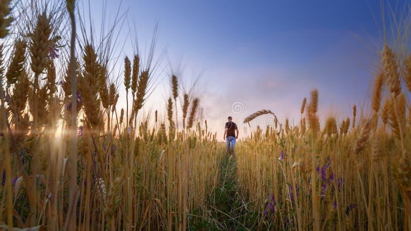 Mężczyzna w pszenicznego pola zmierzchu zdjęcia stock