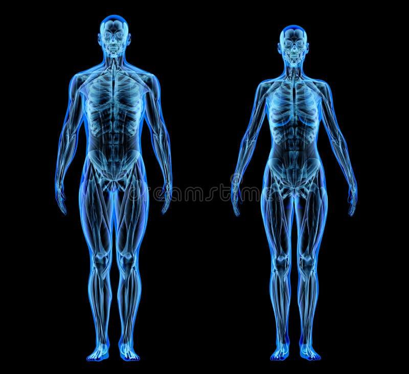 Mężczyzny i kobiety mięsień i kośćcowi systemy Promieniowanie rentgenowskie ilustracja wektor