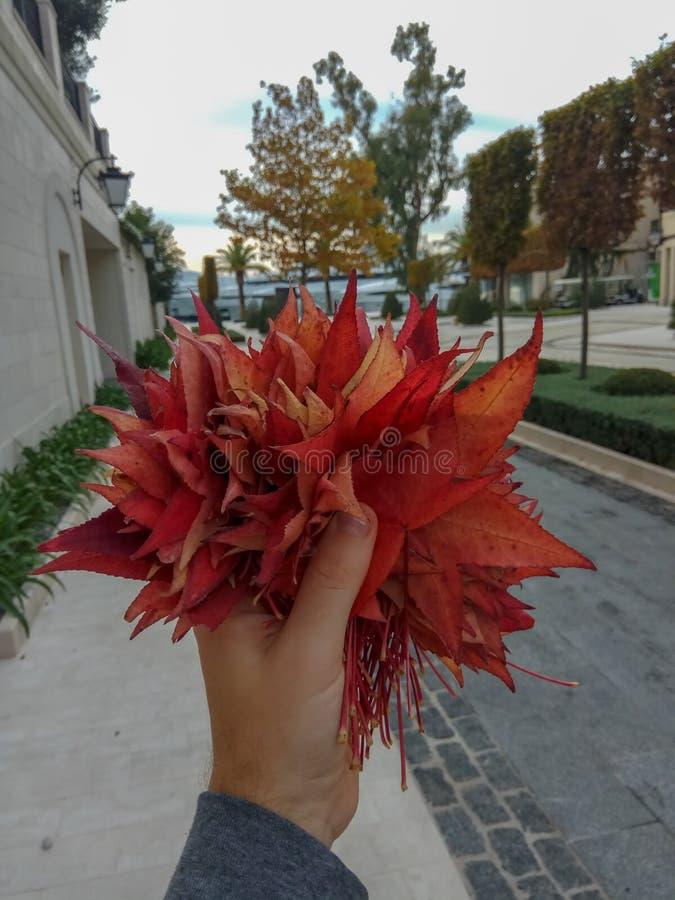 Mężczyzny mienia czerwoni liście klonowi w jesieni z zdjęcia royalty free