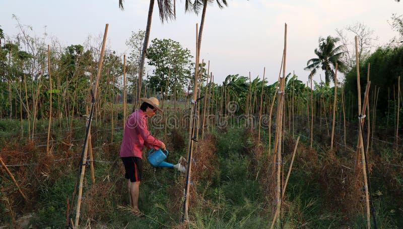 Mężczyzny rolnik nawadnia jarzynową fabułę i jest ubranym słomianego kapelusz zdjęcie stock