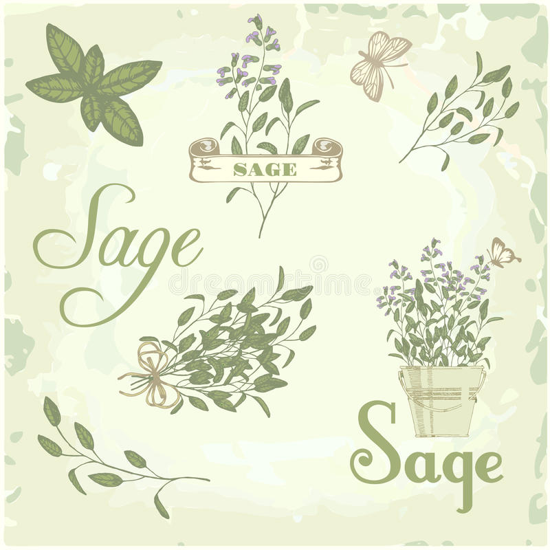 Mędrzec, szałwie, clary mędrzec, ziele, ilustracja wektor
