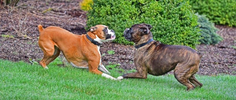 Męscy brindle i żeńscy źrebięcia boksery bawić się w trawie HDR zdjęcie royalty free