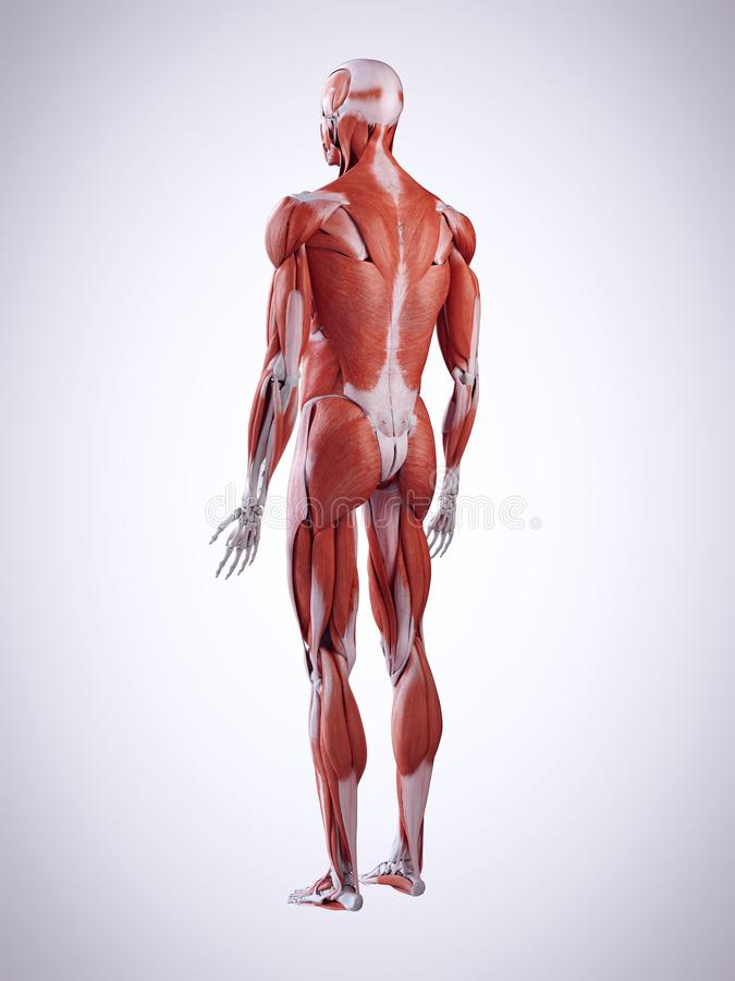 męscy mięśnie royalty ilustracja