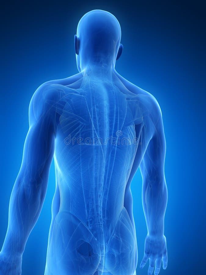 Męscy mięśnie ilustracji