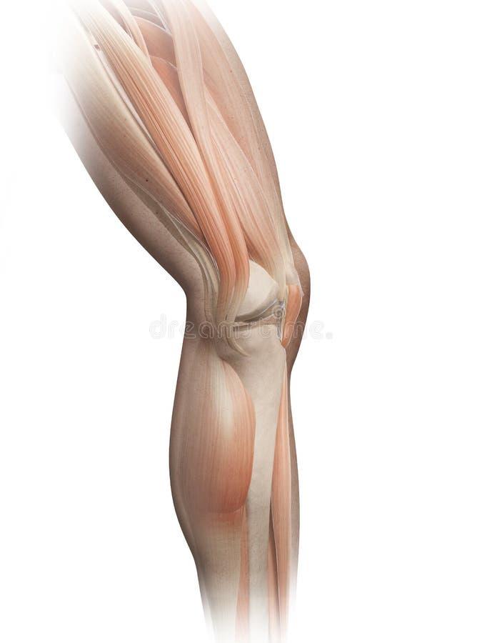 Męscy noga mięśnie royalty ilustracja