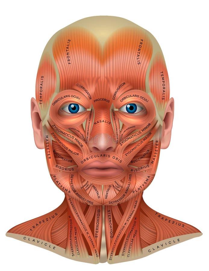 Męscy twarz mięśnie royalty ilustracja