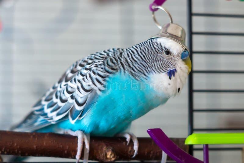 Męska błękitna falista papuga obrazy royalty free
