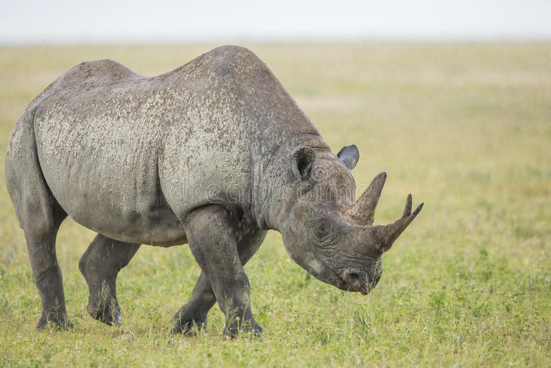 Męska Czarna nosorożec Tanzania (Diceros bicornis) obrazy royalty free