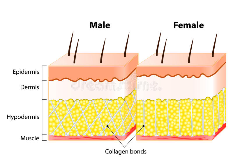Męska końcówki kobiety skóra Struktura i Różny ilustracja wektor