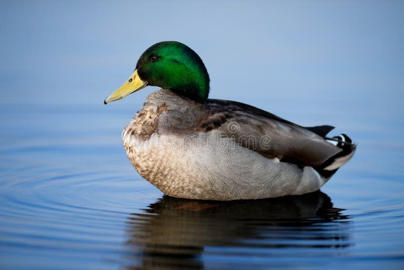 Męska Mallard kaczka Na Pluskotać błękitne wody obrazy stock