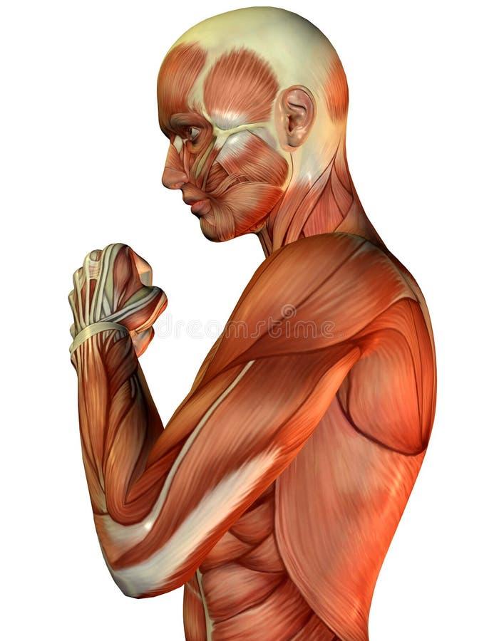 męska mięśniowa półpostać ilustracja wektor