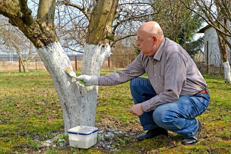 Męska ogrodniczka bieli drzewo bagażnika Wiosen pracy w ogródzie fotografia stock