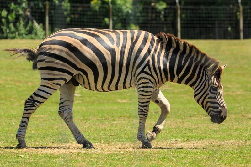 Męska równiny zebra w trawiastej klauzurze obraz stock
