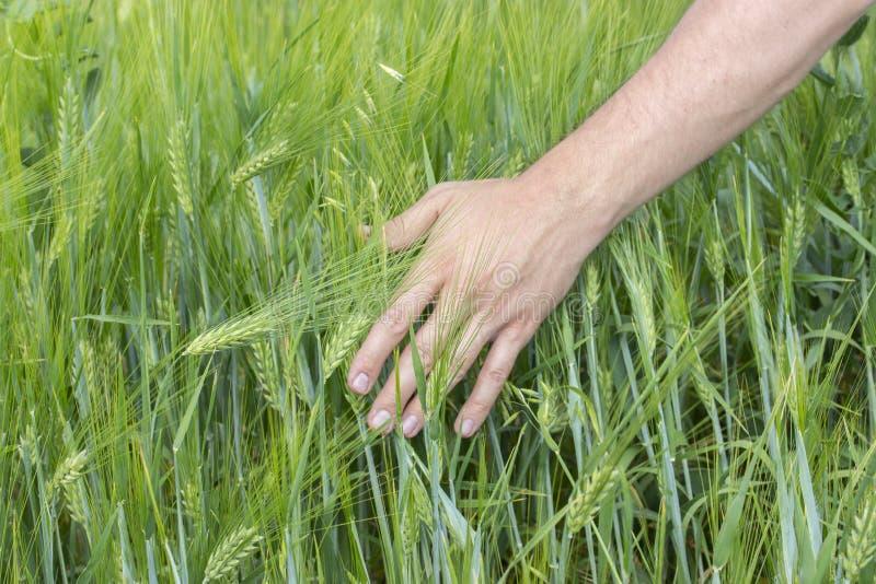 Męska ręka dotyka ucho żyto owsy Zieleni ucho z ziarnami zboże owsy Rolnika prowadzenia przez pole, mężczyzny ręki dotyki fotografia royalty free