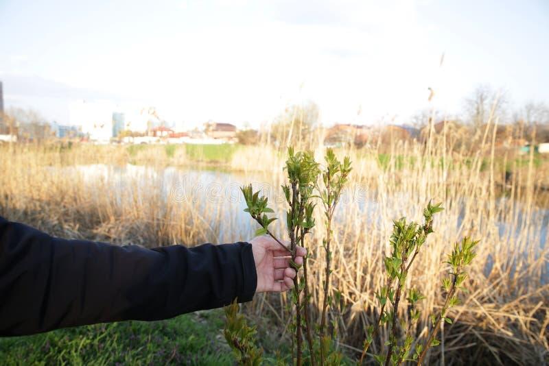 Męska ręka trzyma młodej drzewo flancy przeciw tłu rzeka obraz stock