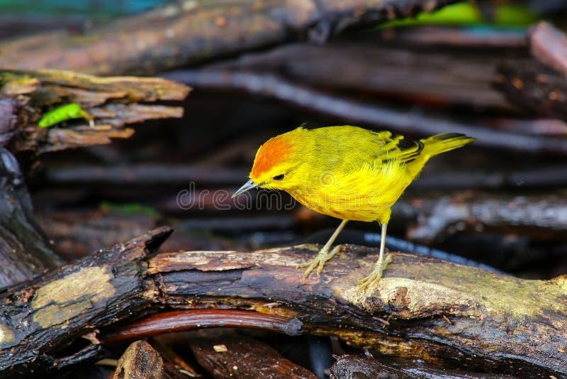 Męski Żółty Warbler na Santa Cruz wyspie w Galapagos obywatelu P obrazy stock