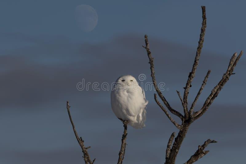 Męski Śnieżny sowy dymienicy scandiacus odizolowywający przeciw błękitnemu tłu i księżyc umieszczał na drzewie w zimie w Ottawa,  obraz royalty free
