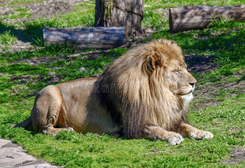 Męski Afrykański lew -3 obraz stock