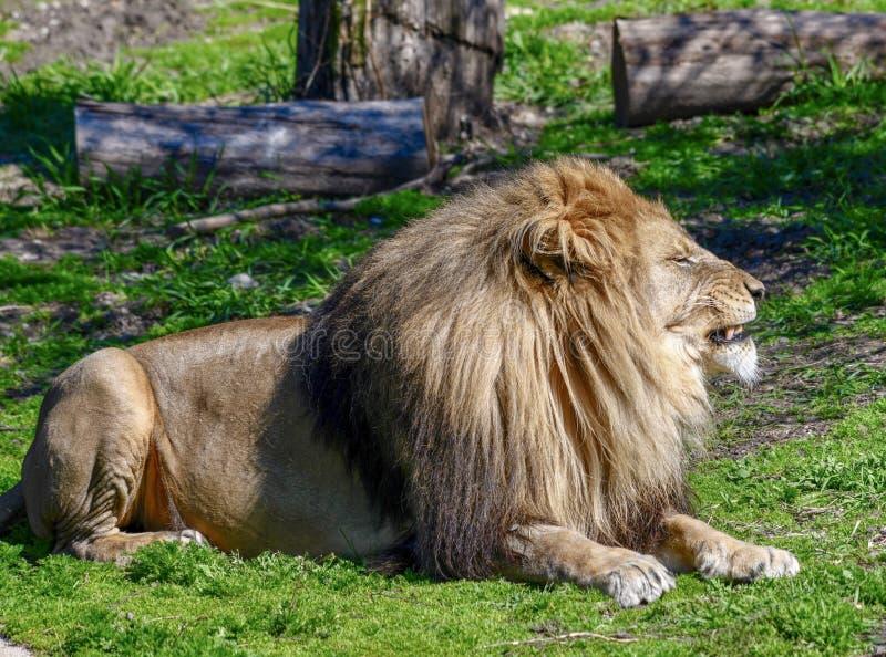 Męski Afrykański lew -2 obraz royalty free