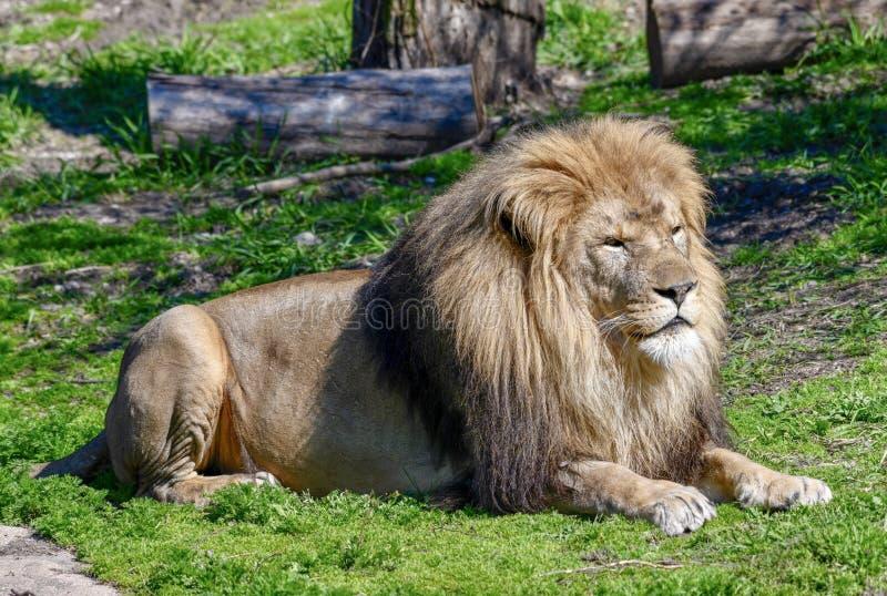 Męski Afrykański lew -1 obrazy stock