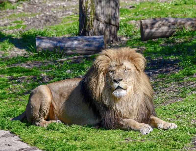 Męski Afrykański lew -4 fotografia royalty free