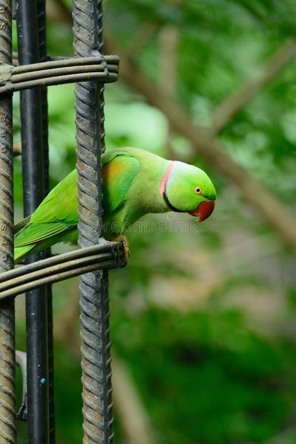 Męski aleksandrynu Parakeet (Psittacula eupatria) fotografia stock