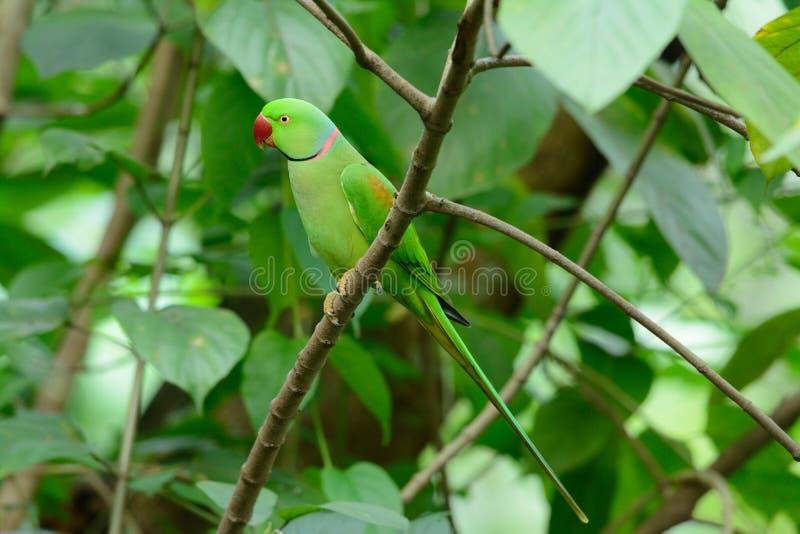 Męski aleksandrynu Parakeet (Psittacula eupatria) fotografia royalty free