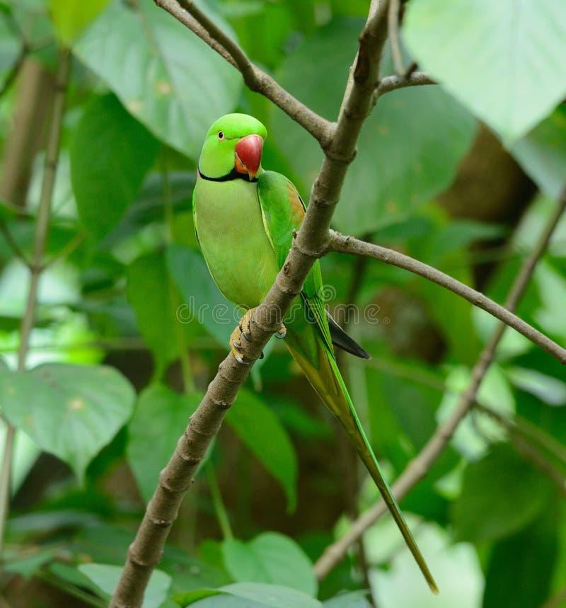 Męski aleksandrynu Parakeet (Psittacula eupatria) zdjęcie royalty free